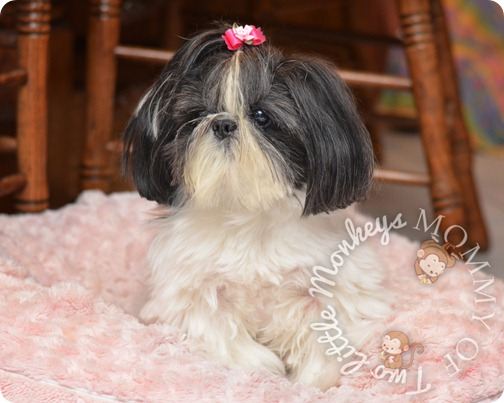 minature shih tzu