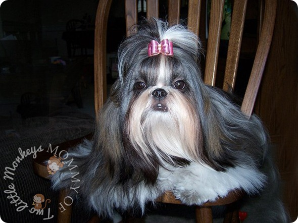 shih tzu long hair dog