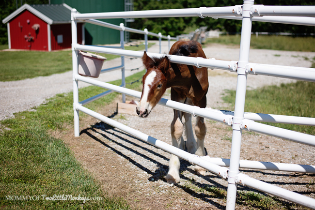 Budweiser Clydesdale - Warm Springs Ranch Missouri - Public Tours Available!